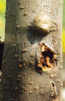 The roundheaded apple tree borer makes little headway over the course of its first winter. Catching these grubs early on reduces the amount of cambial damage significantly. Photo by Michael Phillips