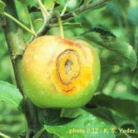 Cedar apple rust on the fruit can only be prevented early in the growing season. (photo: courtesy of Keith S. Yoder via the West Virginia University Fruit Web)