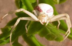 This crab spider disguises herself with blossom coloration to nab many a critter. Photo by Peter J. DeVries
