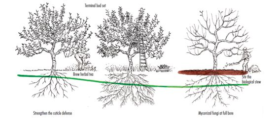 The Fungal Curve is a series of fungal happenings in the orchard that fruit growers need to recognize. Drawing by Elayne Sears.