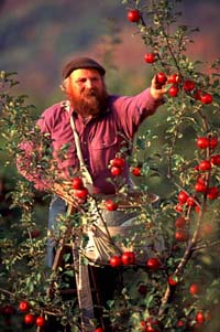 Michael Phillips picking organic apples at Lost Nation Orchard at Heartsong Farm -- photo: Frank Siteman