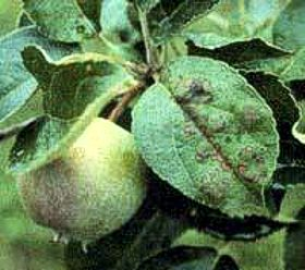 Apple scab lesions gain a fatal foothold on the leaf surface when spring rains release tens of thousands of ascospores. (photo: courtesy of Alan Biggs via the West Virginia University Fruit Web)