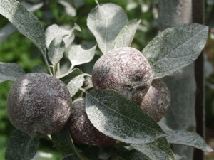 Thorough coverage with the refined kaolin clay keeps fruit-eating pests at bay -- photo: Michael Phillips.