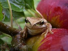 Numerous allies like this tree frog help keep pests in balance in the holistic orchard. Photo courtesy of Kalangadoo Orchard